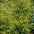 Juniperus chinensis `Kuriwao Sunbeam` (Kuriwao Sunbeam Chinese Juniper)