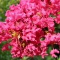 Lagerstroemia indica `Durant Red` (Durant Red selyemmirtusz)