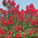 Lagerstroemia `Red Rocket` (Red Rocket selyemmirtusz)