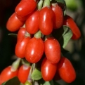 Lycium barbarum `Big Lifeberry` (Big Lifeberry goji-bogyó)