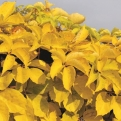 Parthenocissus quinquefolia `Yellow Wall` (Yellow Wall tapadó vadszőlő)
