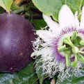 Passiflora edulis `Purple Giant` (Purple Giant maracuja, passiógyümölcs)