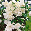 Philadelphus `Little White Love` (Little White Love törpe jezsámen)