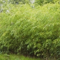 Phyllostachys flexuosa  (Flexible Hedge Bamboo)