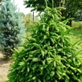 Picea abies `Compacta` (Compacta Norway Spruce)