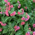Pulmonaria `Schrimps on the Barbie` (Shrimps on the Barbie pettyegetett tüdőfű)