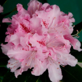 Rhododendron `Cheer` (Cheer rododendron)