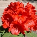 Rhododendron `Red Jack` (Red Jack rododendron)