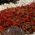 Sedum spurium `Dragon`s Blood` (Dragon`s Blood Stone Crop)