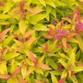 Spiraea japonica `Double Play Gold` (Double Play Gold Japanese Spiraea)