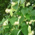 Tilia cordata  3 db (Small-leaved Lime, Small-leaved Linden, Little-leaf Linden)