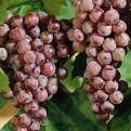 Vitis `Reliance` (Reliance Seedless Table Grape)