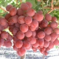 Vitis `Swenson Red` (Swenson Red Table Grape)