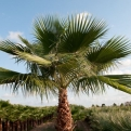 Washingtonia filifera K20 (Arizona Fan Palm, California Fan Palm K20)