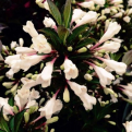 Weigela florida `Ebony and Ivory` (Ebony and Ivory rózsalonc)