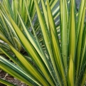 Yucca filamentosa `Color Guard` (Color Guard aranylevelű pálmaliliom)