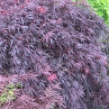 Acer palmatum `Dissectum Garnet` (Garnet Threadleaf Japanese Maple)