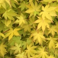 Acer palmatum `Summer Gold` (Summer Gold Japanese Maple)