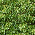 Hedera helix  (Common Ivy)